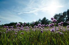 Chives wildflowers Royalty Free Stock Photos