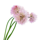 Chives With Flowers Isolated Stock Images