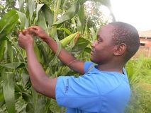 African farmer inspecting corn plants royalty free stock images
