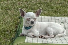 Chiwawa лежит на траве стоковое фото rf