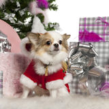Chiwawa, 2 années, avec l'arbre de Noël photographie stock