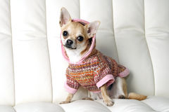 Chiwawa Photos stock