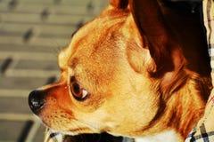 Chiwawa, animal familier Image libre de droits