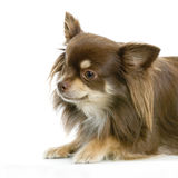 Chiwawa aux cheveux longs Images stock
