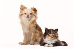 Chiwawa avec le chaton de Maine Coon Photographie stock libre de droits