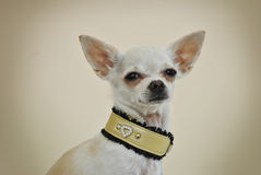 Chiwawa avec le collier élégant photo stock
