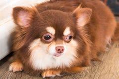 Chiwawa, chien dans l'isolat de jour de chiot sur le fond photographie stock
