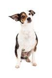 Chiwawa curieux et séance de chien de race mélangée par Terrier Images stock