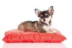 Chiwawa d'animal familier de chien d'isolement sur le fond blanc Photographie stock libre de droits