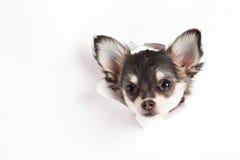 Chiwawa d'isolement sur le travail créatif de fond d'animal familier blanc de chien Photos libres de droits