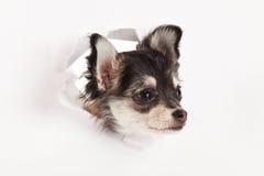 Chiwawa d'isolement sur le travail créatif de fond d'animal familier blanc de chien Photo stock