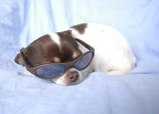 Chiwawa dans des lunettes de soleil Photographie stock