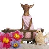 Chiwawa dans la robe rose, 11 mois, se reposant Photographie stock