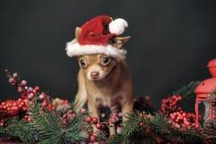 Chiwawa dans le chapeau de Noël Photo libre de droits
