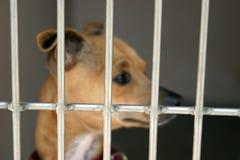 Chiwawa dans une cage à l'abri animal images stock