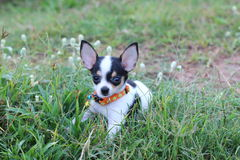 Chiwawa de chien Image stock
