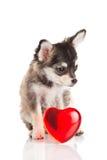 Chiwawa de chien d'isolement sur le coeur blanc de fond Photographie stock libre de droits