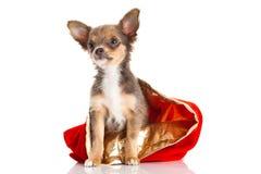 Chiwawa de chien d'isolement sur le fond blanc Photos libres de droits