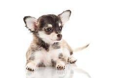 Chiwawa de chien d'isolement sur le fond blanc Image libre de droits