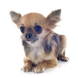 Chiwawa de chiot Photographie stock