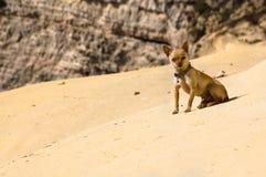 Chiwawa de désert Photo libre de droits