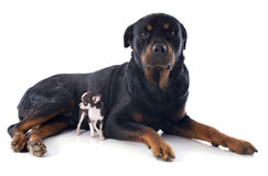Chiwawa de rottweiler et de chiot Image stock