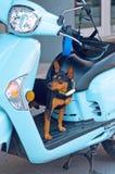Chiwawa dog on moped Royalty Free Stock Image