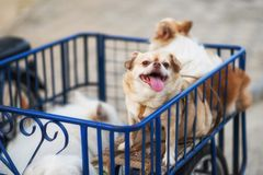 Chiwawa dog on motorbike side car. Cute Golden chiwawa dog with friends sitting in motorbike side car with copy space for text royalty free stock image