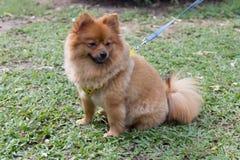 Chiwawa dog Royalty Free Stock Image