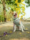 Chiwawa dogSitting sur le béton Photos stock