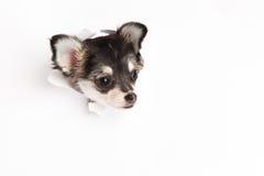 Chiwawa drôle de chien regardant par le trou d'isolement sur le fond blanc Photos stock
