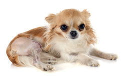 Chiwawa et blessure images stock