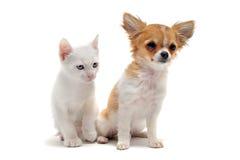 Chiwawa et chaton de chiot Photos stock