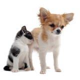 Chiwawa et chaton de chiot Photos libres de droits
