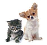 Chiwawa et chaton de chiot Images libres de droits