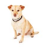 Chiwawa et chien de race mélangé par Terrier Photos libres de droits