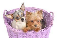 Chiwawa et chien terrier de Yorkshire dans un panier Photos libres de droits