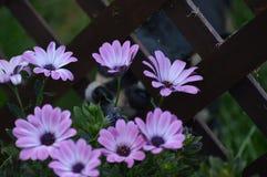 Chiwawa et fleurs Photographie stock libre de droits
