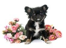 Chiwawa et fleurs de chiot Photographie stock libre de droits
