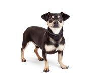 Chiwawa et position de chien de race mélangée par teckel Photo libre de droits