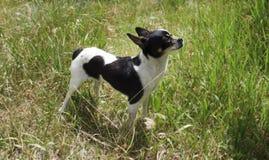 Chiwawa femelle de bécasses des bois de jeune chien Images stock
