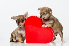 Chiwawa mignon de chiots avec le coeur rouge Photos stock