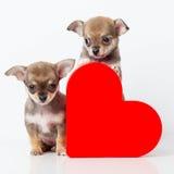 Chiwawa mignon de chiots avec le coeur rouge Images libres de droits