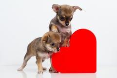 Chiwawa mignon de chiots avec le coeur rouge Photo libre de droits