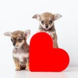 Chiwawa mignon de chiots avec le coeur rouge Photographie stock