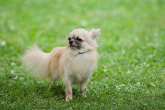 Chiwawa Royalty Free Stock Photography