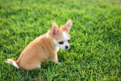 Chiwawa, puppy on grass. Stock Photography