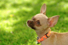 Chiwawa, puppy on grass Stock Images
