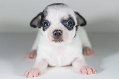 Chiwawa Spotted black short hair. Puppy dog, Pet Royalty Free Stock Photo