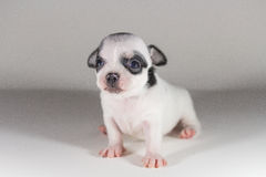 Chiwawa Spotted black short hair. Puppy dog, Pet Royalty Free Stock Photos